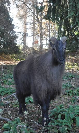 Donald and Barbara Bray's resident Himalayan bull tahr.