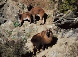 Combine a tahr hunt with hunts for free range red stag and South Pacific goat.